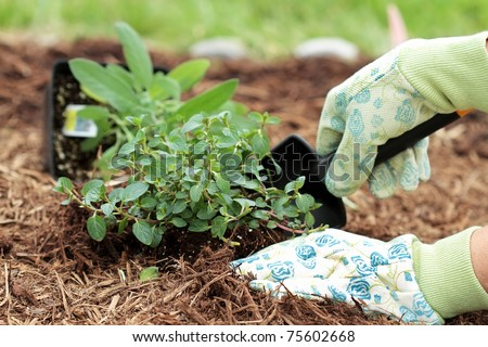 A gardener's gloved hand planting Chocolate Mint with a small trowel in a herb garden.