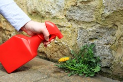 A Gardener Spraying Weed killer On To A Dandelion Weed Growing Between A Patio And A Garden Wall.