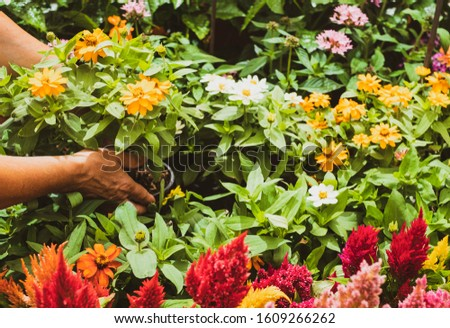 A gardener takes care of the blooming flowers. Two female hands take a vase of daisies