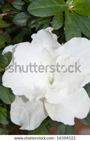 A gardenia Flower close up