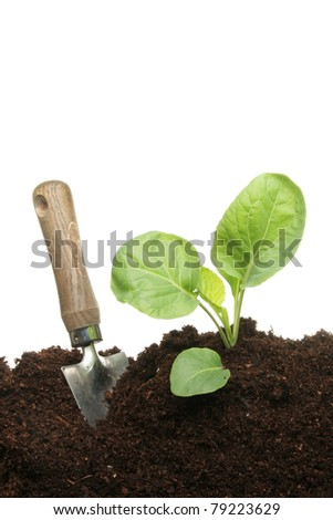 A gardening trowel next to a seedling cabbage plant in compost