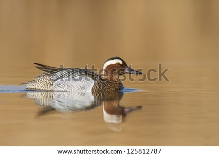 A Garganey Duck (Anas querquedula) - stock photo