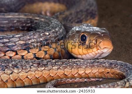 A garter snake slithers across the dirt.