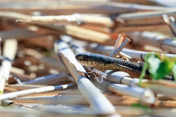 A Garter Snake slithers through the grass on a warm and sunny day.