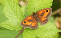 A Gatekeeper Butterfly (Pyronia tithonus) perched on a leaf.