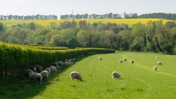 A Gathering of Sheep Finding Shade in the Shadow of a Hedgerow on a Hot Spring day.