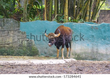 A Gaur (Bos Gaurus) Also Called Indian Bison Strolling On A Sunny Day In It's Home At National Zoo Of Malaysia #573284641