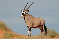 A gemsbok antelope (Oryx gazella) on a red sand dune, Kalahari, South Africa