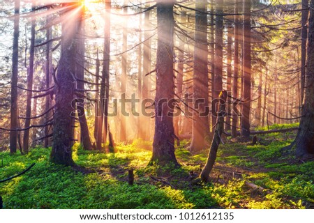 A gentle beautiful mist in the bright sunbeams of the sunrise glows with magic rays in the wild coniferous alpine forest of Europe, where old trees grow on the freedom of mountain peaks #1012612135