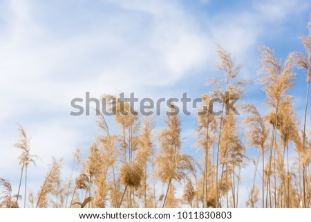 A gentle gentle cloud on the blue sky and yellow reeds, a natural background #1011830803