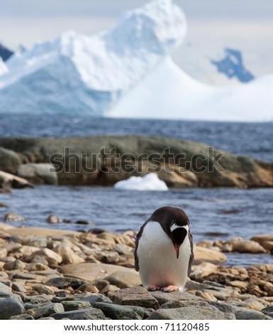 A Gentoo penguin on the beach in Antarctica