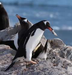 A Gentoo penguin returning to the nest brings its mate a stone as a courtship gesture, Neko Harbor, Antarctic Peninsula
