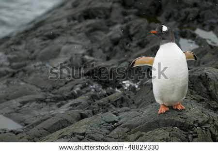A Gentoo Penguin standing on the rocks with its wings open - Antarctic Peninsula