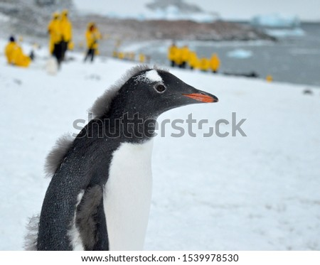 A gentoo penguin stands on a snow covered beach on the Antarctic peninsula, looking to the right of the picture. In the background and out of focus, a group of tourists wearing yellow.