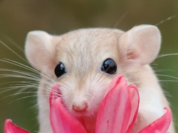Agerbilis a small mammal of the subfamily Gerbillinae in the order Rodentia
