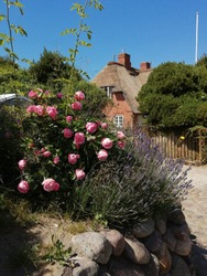 A German house on the North Sea. Frisian Islands. Nature. Sylt island. Kampen. Thatched roof. Friesenwall. Potato roses. Stone fence. Summer. Blue sky. Natur. Beauty.