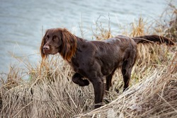 A German Longhaired Pointer