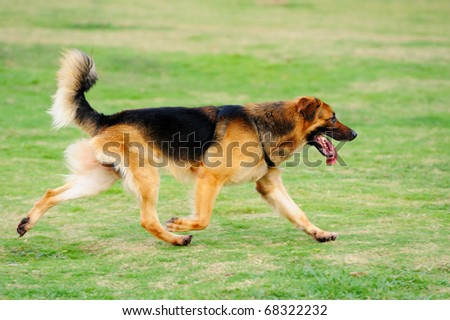 A German Shepard running on the lawn