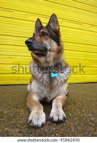 A German Shepherd Dog lying down on concrete against a bright yellow door.  Taken in vertical format with a wide angle lens.