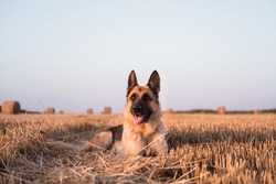 A German shepherd lies and poses in a wheat field. The Sheepdog is lying in a clearing and resting. A freshly mown wheat field with round straw stacks.