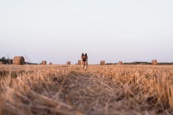 A German shepherd runs in a freshly mown wheat field. A dog runs in a field with round straw bales. Lots of dry orange haystacks in the background.