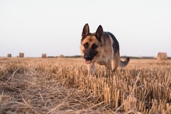 A German shepherd stands in a freshly mown wheat field. The Sheepdog stands, looks and poses. Field with round haystacks.