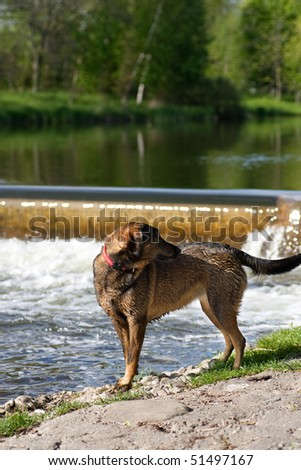 A German Sheppard standing at the edge of a river, looking back at his owner, with a small waterfall in the background
