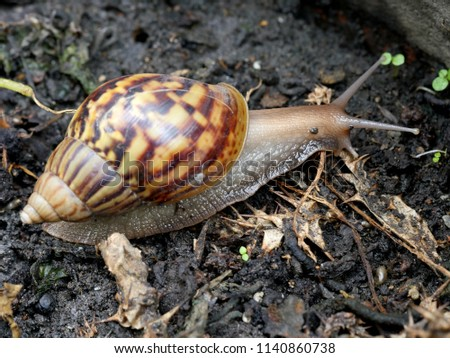 A Giant African land snail slowly moving on the ground