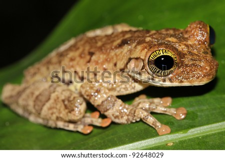 A Giant Broad-headed Treefrog (Osteocephalus taurinus) in the Peruvian Amazon