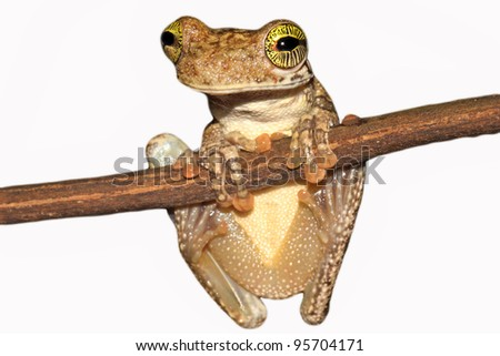 A Giant Broad-headed Treefrog (Osteocephalus taurinus) in the Peruvian Amazon Isolated on white with lots of space for text