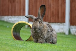 A Giant Continental Rabbit posing on the lawn