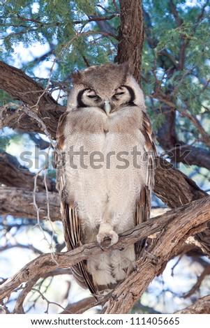 A giant Eagle Owl dozing in a tree - stock photo