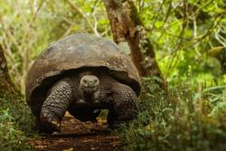 A giant galapagos tortoise walks down a path