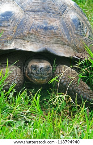 A giant Galapagos turtle, Galapagos islands, Ecuador, South America - stock photo