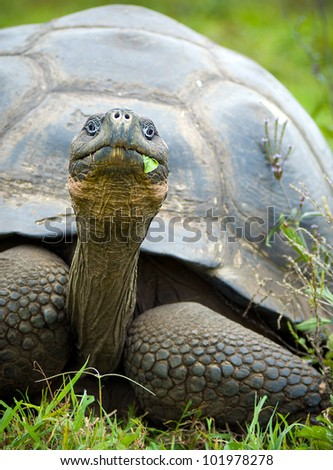 A giant galapagos turtle on a walk