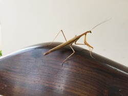 A giant grasshoppers , one of the beautiful insects striking a pose .