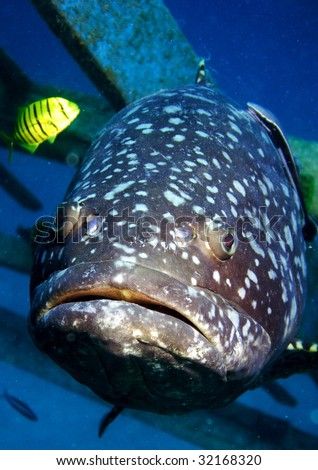 A giant Grouper and a bright yellow fish