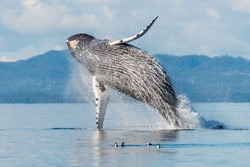 A giant humpback whale (Megaptera novaeangliae) breaches from the water with a big splash in Broughton Archipelago, British Columbia, Canada.