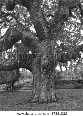 A giant live oak tree in black and white on a former plantation now called Brookgreen Gardens near Myrtle Beach in South Carolina.