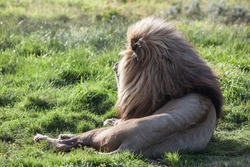 A giant male lion (Panthera leo), resting in Addo Elephant Park, South Africa, weighs close to 550 lbs. Until 10,000 years ago, lions were the most widespread large land mammals after humans.