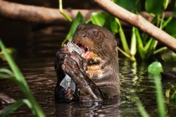 A Giant Otter Feeding in the Pantanal