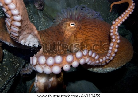 A giant pacific octopus at the Aquarium of the Pacific.