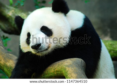 A giant panda bear takes a nap on a large rock