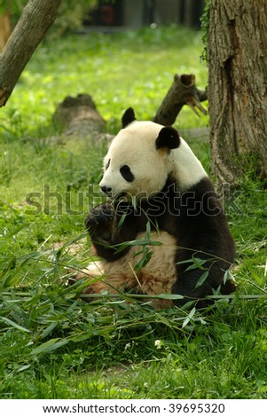 a Giant panda in a field with a tree and grass