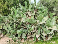 A giant prickly pear cactus growing among trees. Cactus leaves are disfigured by vandals signs.