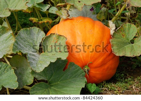 A giant ripe pumpkin growing in the patch