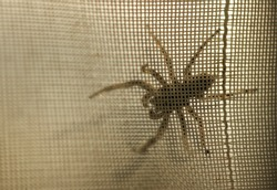 A giant spider crawled behind the curtain, in shallow focus