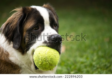 A giant St. Bernard dog plays in a grass yard with a tennis ball as a toy.