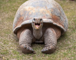 A giant Tortoise with mouth open / Tortoise / A giant Galapagos turtle