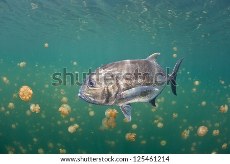 A Giant trevally (Caranx ignobilis) swims within a remote marine lake in Raja Ampat, Indonesia.  The trevally must have entered the isolated lake when it was a larva.